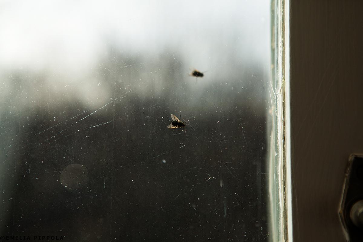 Kärpäsiä työhuoneen ikkunassa.
