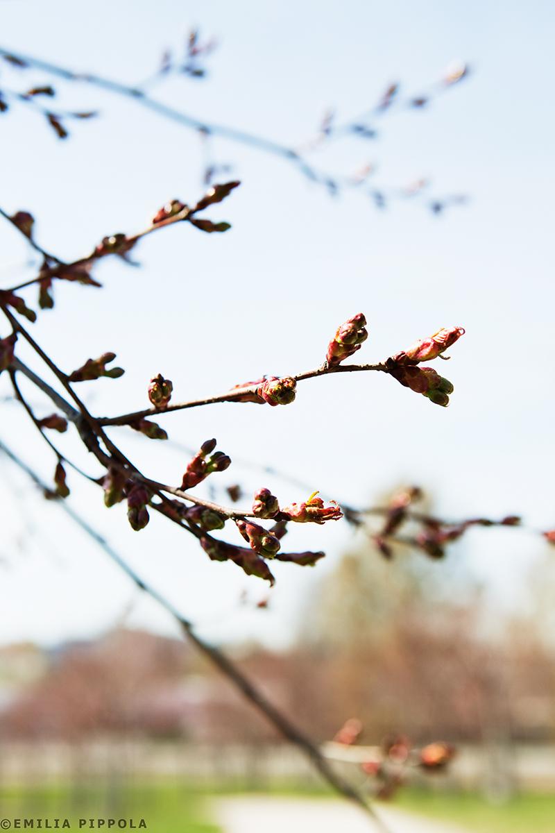 Kirsikkapuiston kirsikkapuut 2.4.2014. Nuppuja jo näkyvissä.