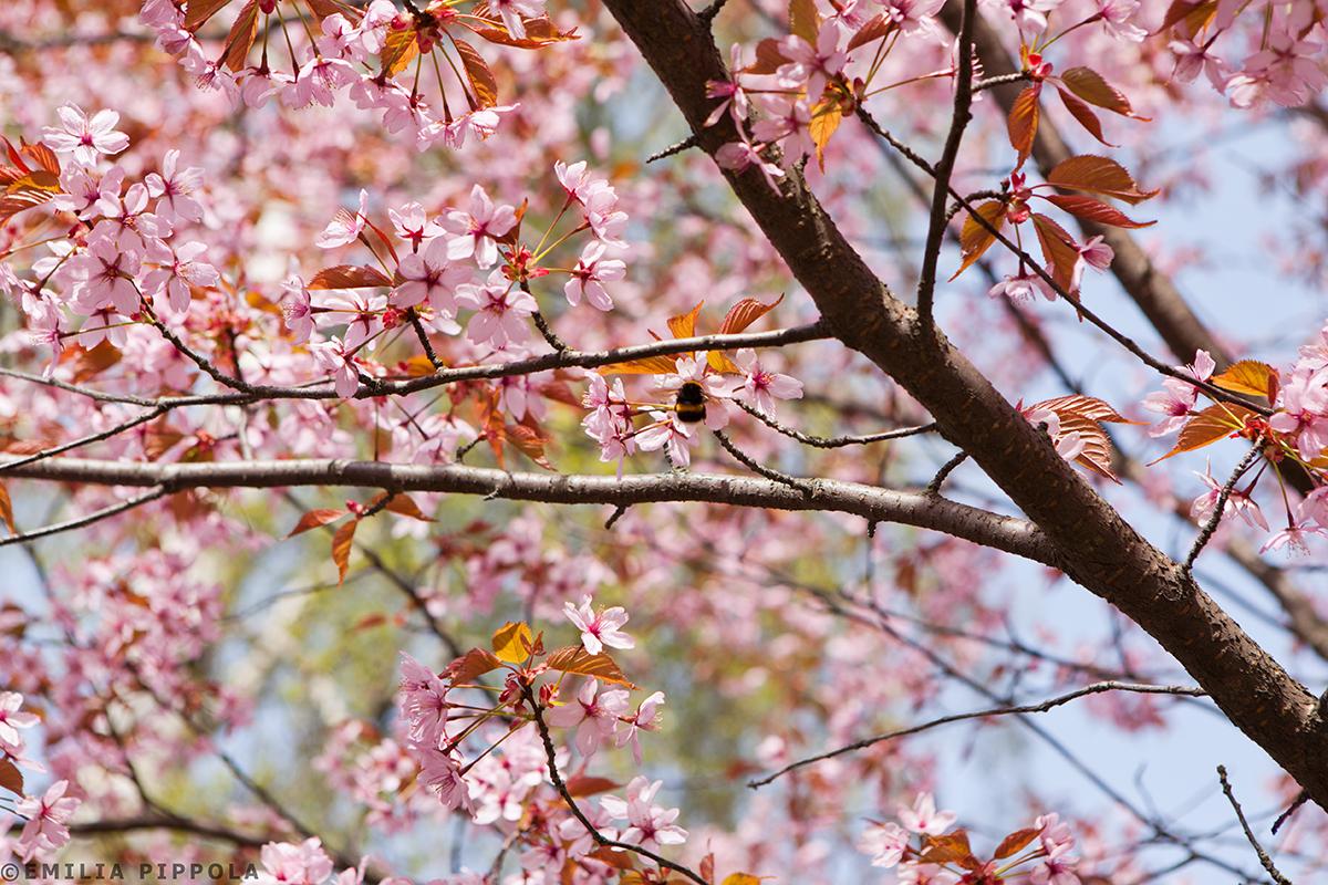Japanilaistyylisen puutarhan kirsikkapuut 14.5.2014